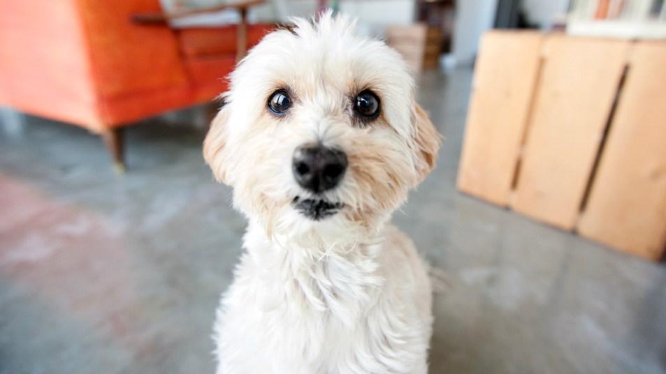 Dog staring at the camera