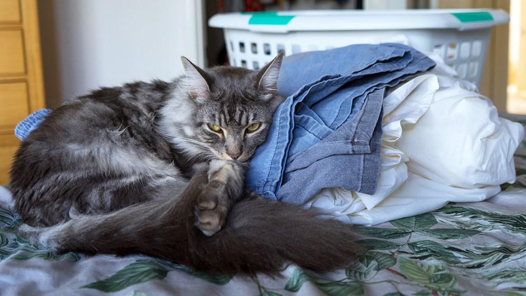 Gray cat sleeping on folded laundry