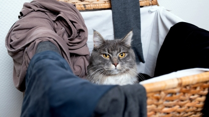 Gray and white cat in laundry hamper