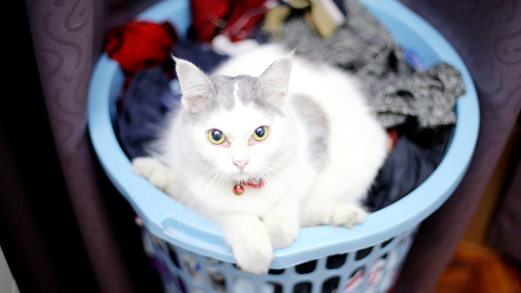 White and gray cat in laundry basket