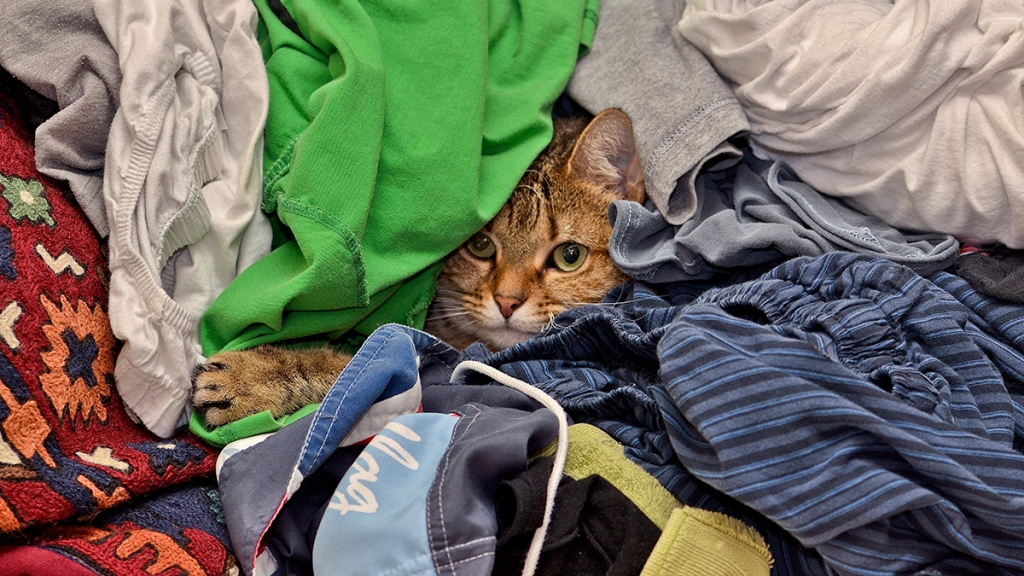 Tabby cat's head poking out of pile of clothes