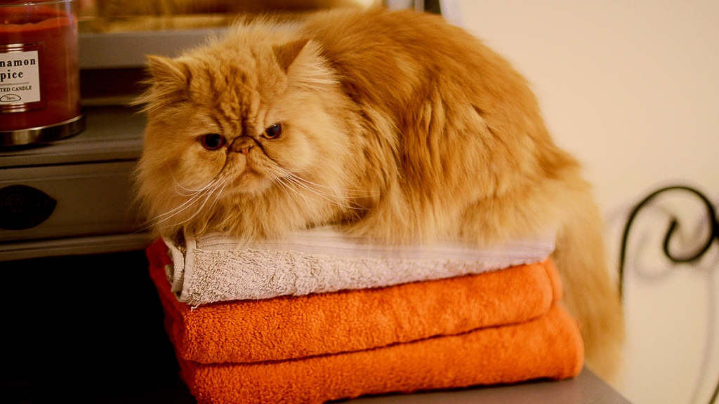 Fluffy orange cat on freshly folded towels