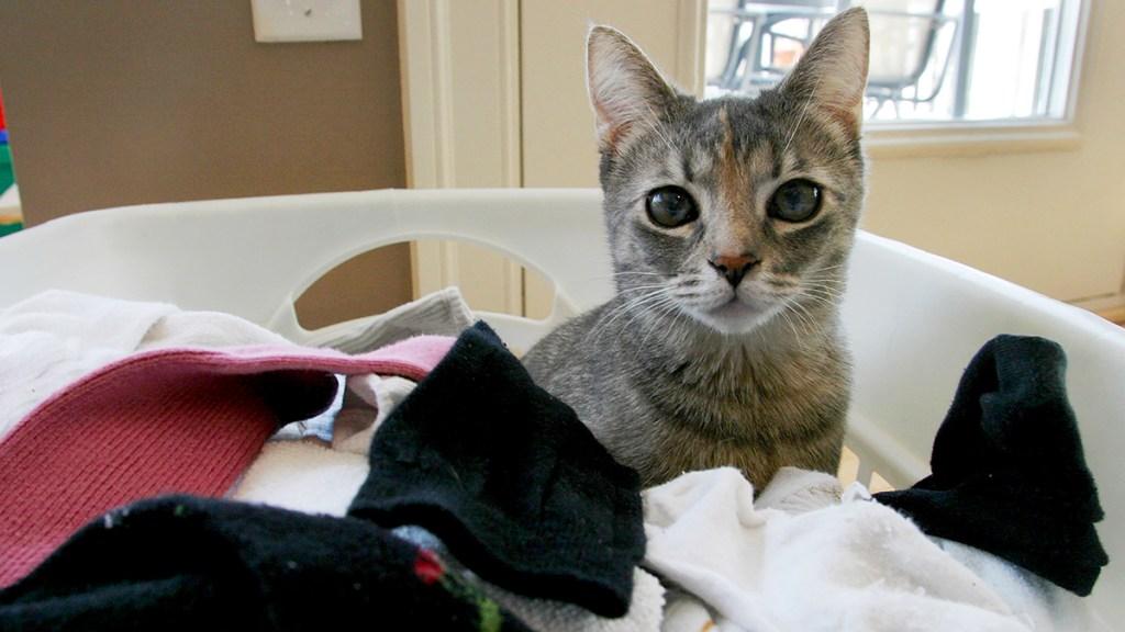 Gray cat in laundry hamper