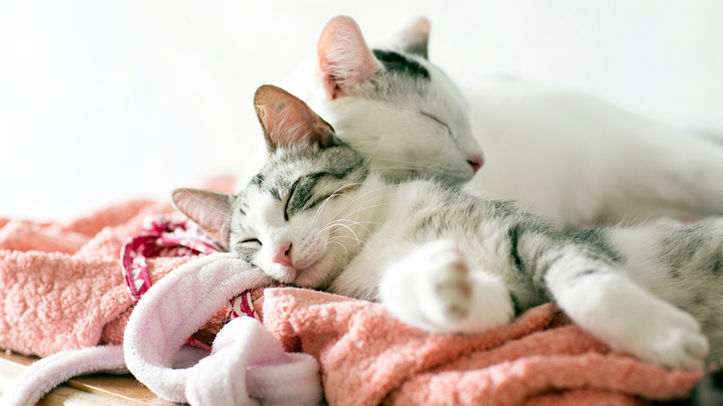 Two white and gray cats on clothes