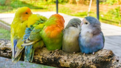 cuddly family of parakeets sitting close together on a branch