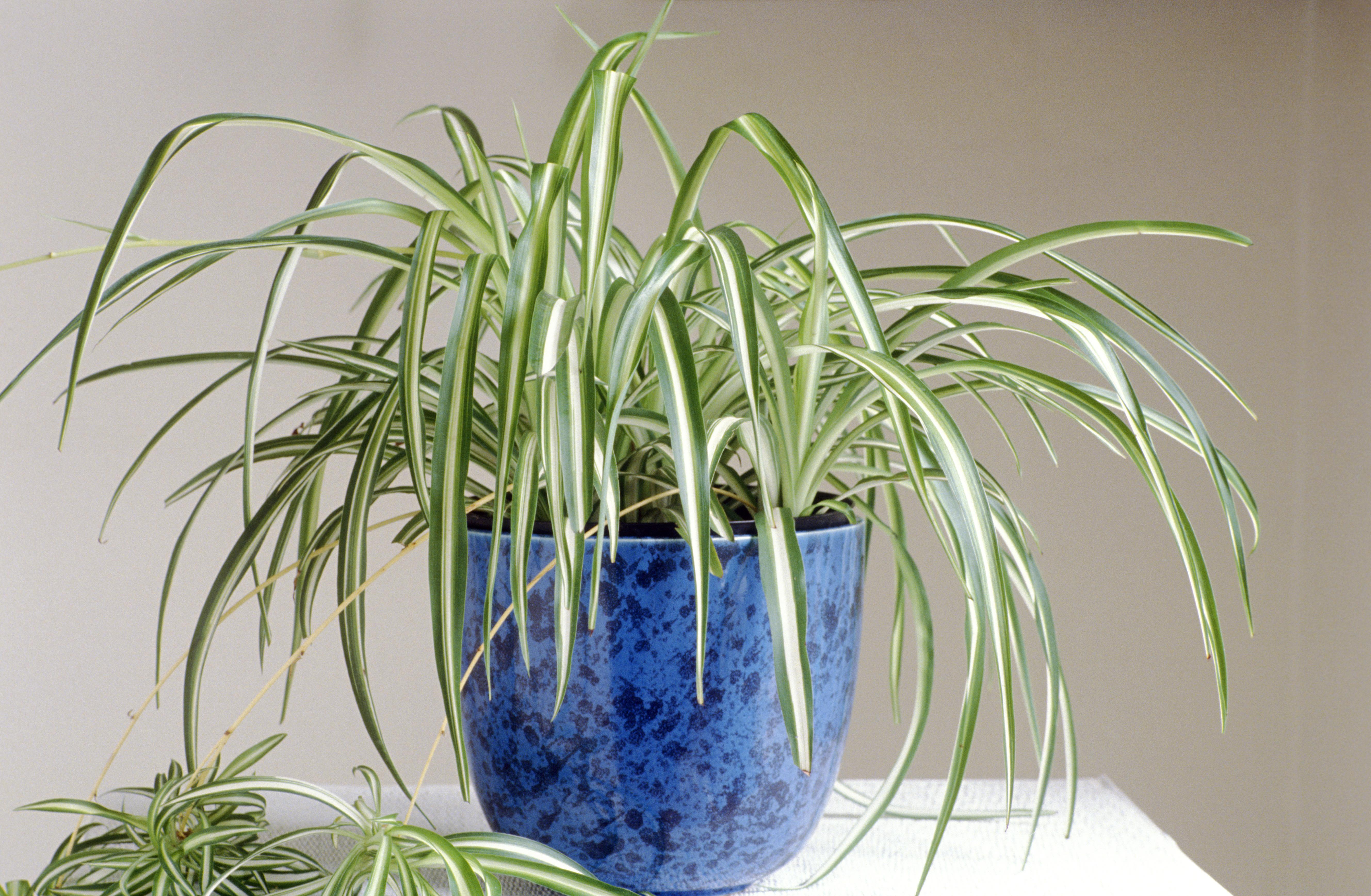 spider plant 1