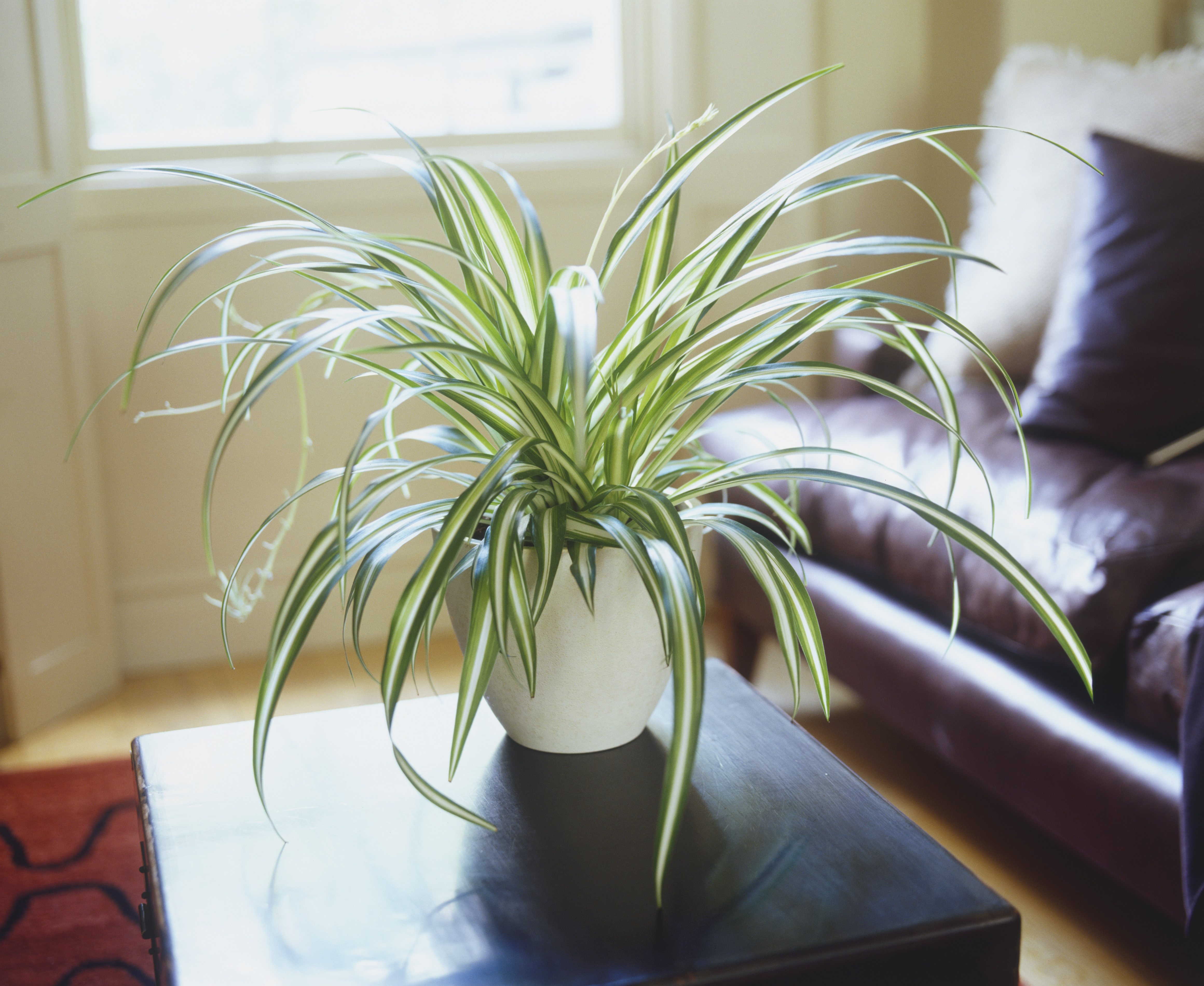 Spider Plant Getty Images