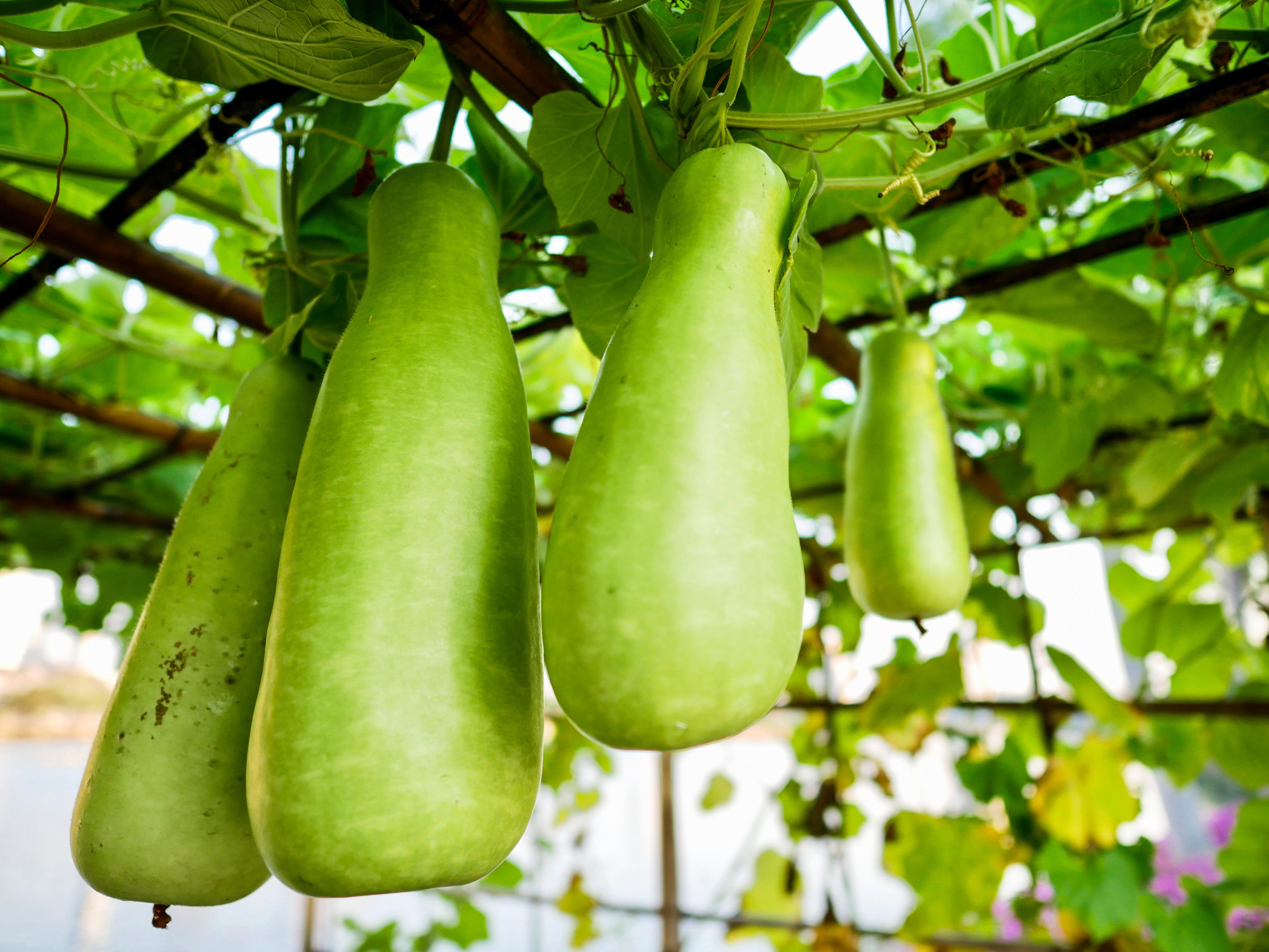 calabash bottle gourd